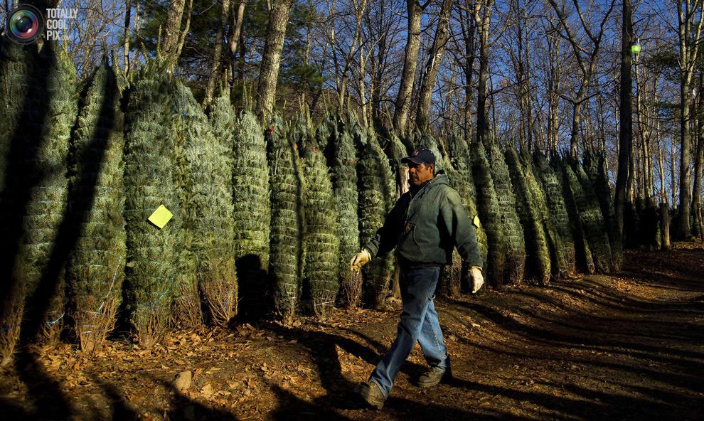furtree21 Как готовят рождественские елки в Америке