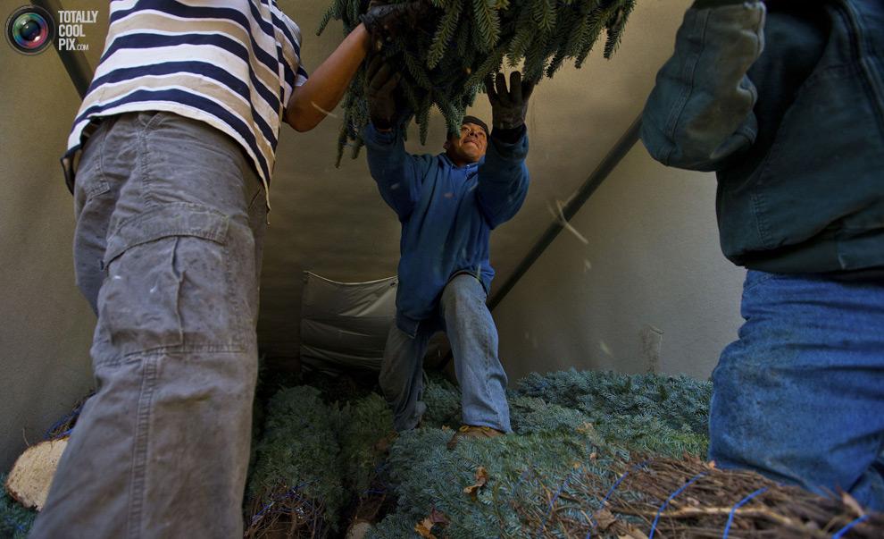 furtree23 Как готовят рождественские елки в Америке