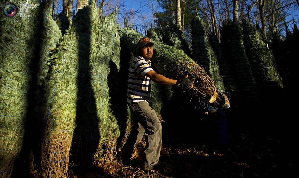 furtree24 Как готовят рождественские елки в Америке