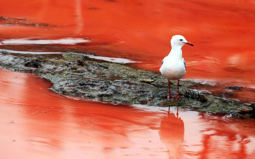 krovavoaliokean 7 Вода напляжах Австралии окрасилась кроваво красным, напугав отдыхающих