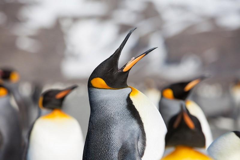 Страждующим пингвинов посвящается