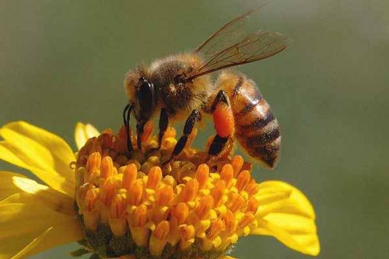 картинки трудолюбивые пчелы ноги четырьмя, задние