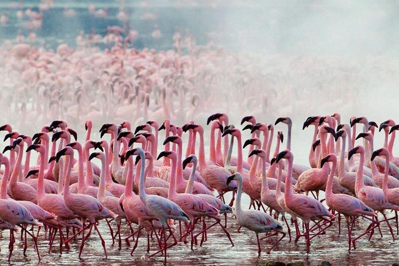 thousandsofflamingo 1 Тысячи розовых фламинго на озере Накуру