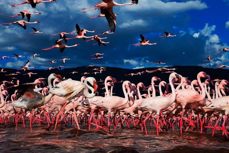 thousandsofflamingo 10 Тысячи розовых фламинго на озере Накуру