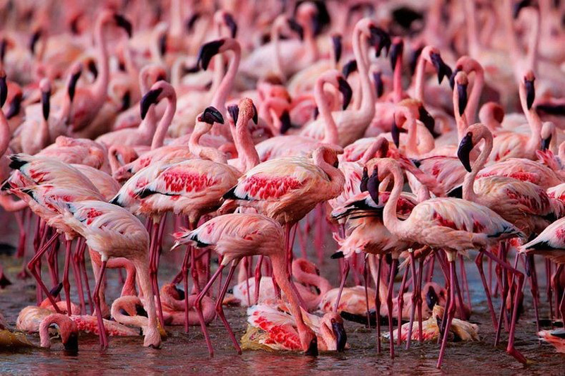 thousandsofflamingo 11 Тысячи розовых фламинго на озере Накуру