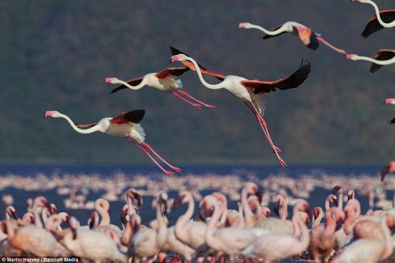 thousandsofflamingo 12 Тысячи розовых фламинго на озере Накуру