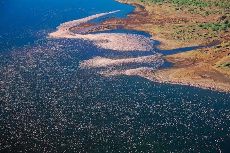 thousandsofflamingo 5 Тысячи розовых фламинго на озере Накуру