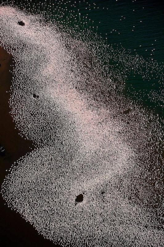 thousandsofflamingo 6 Тысячи розовых фламинго на озере Накуру