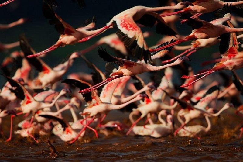 thousandsofflamingo 8 Тысячи розовых фламинго на озере Накуру