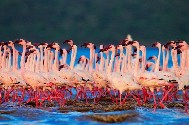 thousandsofflamingo 9 Тысячи розовых фламинго на озере Накуру