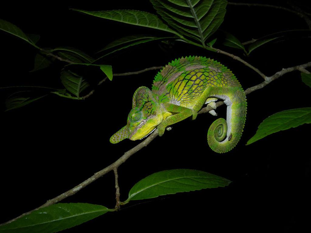 xameleon 14 Интересные факты о хамелеонах