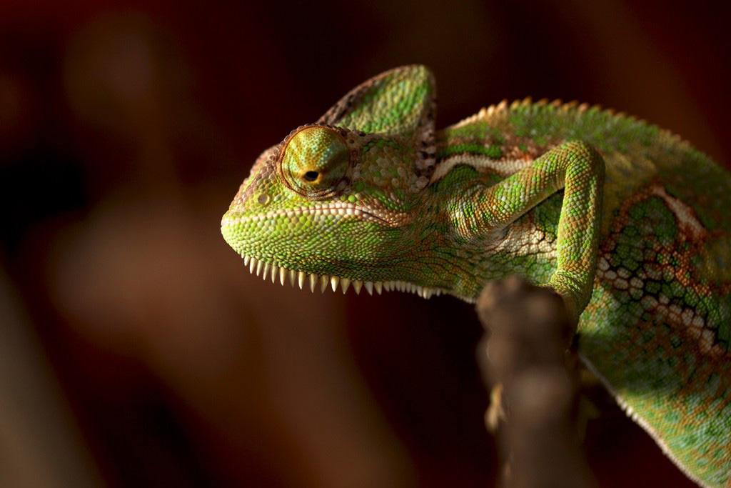 xameleon 17 Интересные факты о хамелеонах