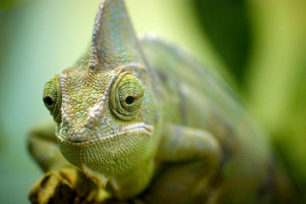 xameleon 2 Интересные факты о хамелеонах