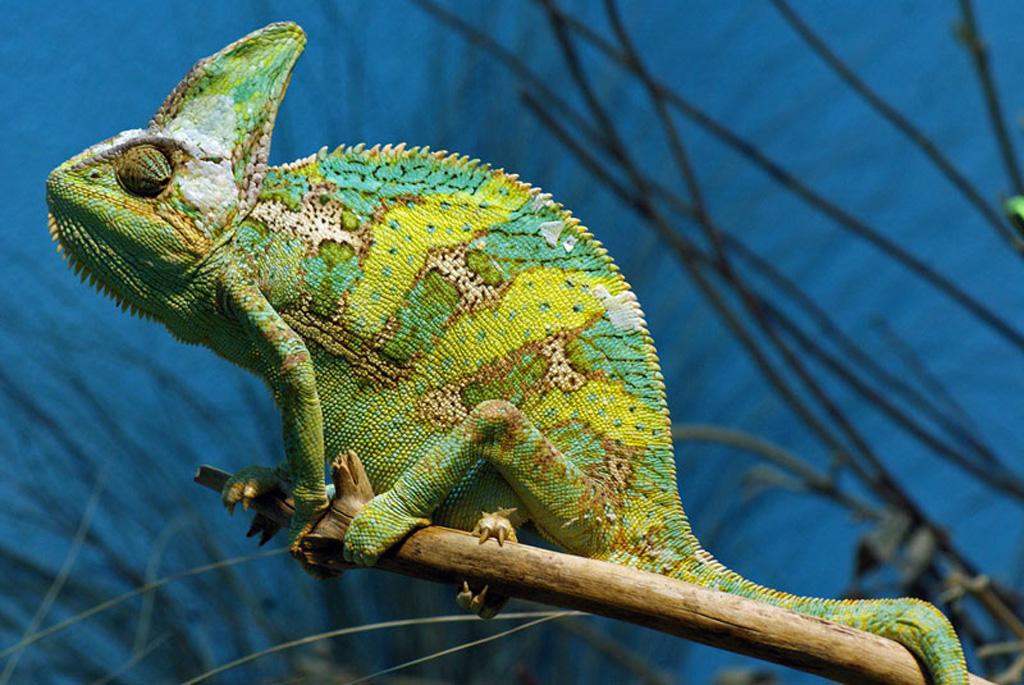 xameleon 3 Интересные факты о хамелеонах