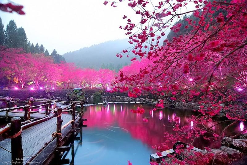 Cherry Blossom 1 800x535 Вишневый цвет