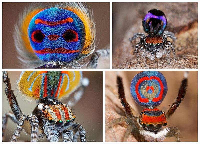 TEMP56 Экзотический павлиний паук