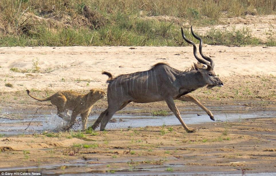 The buck stops here 2 Антилопа против львицы