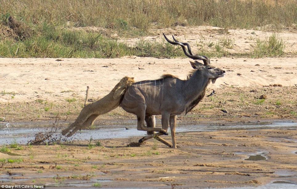 The buck stops here 3 Антилопа против львицы