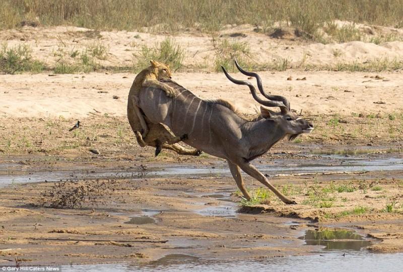 Антилопа против львицы