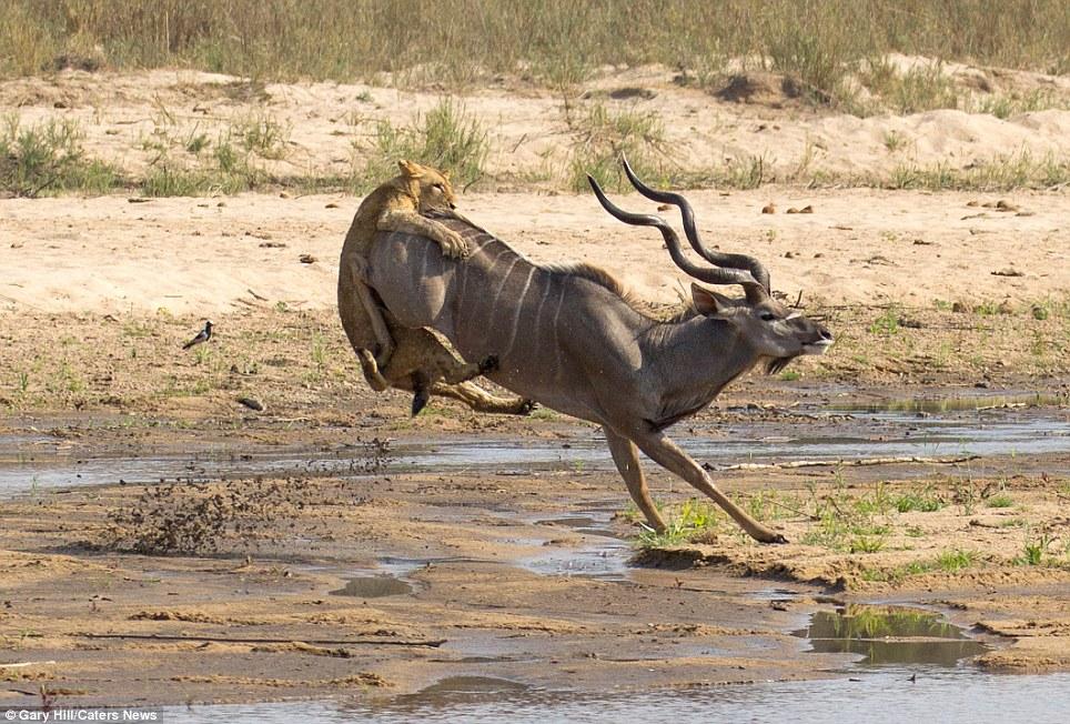 The buck stops here 4 Антилопа против львицы