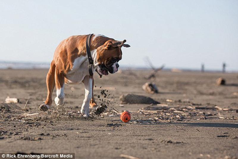boksyorCharli 4 Боксер Чарли и его оранжевое счастье