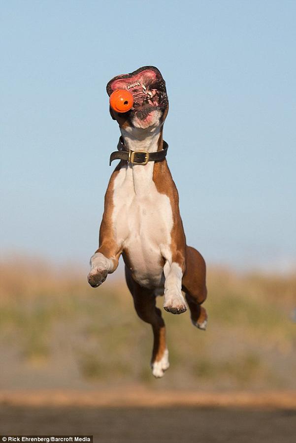 boksyorCharli 6 Боксер Чарли и его оранжевое счастье
