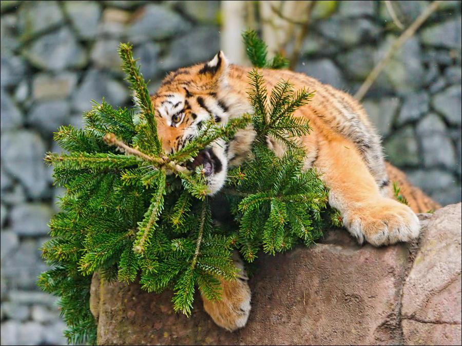 cat18 А вы поставили елку для кота?