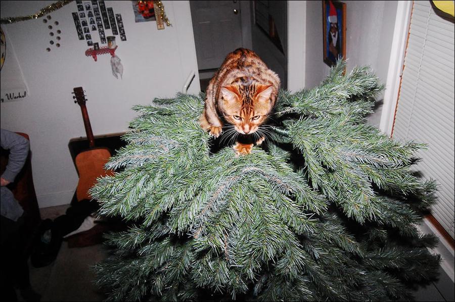 cat22 А вы поставили елку для кота?