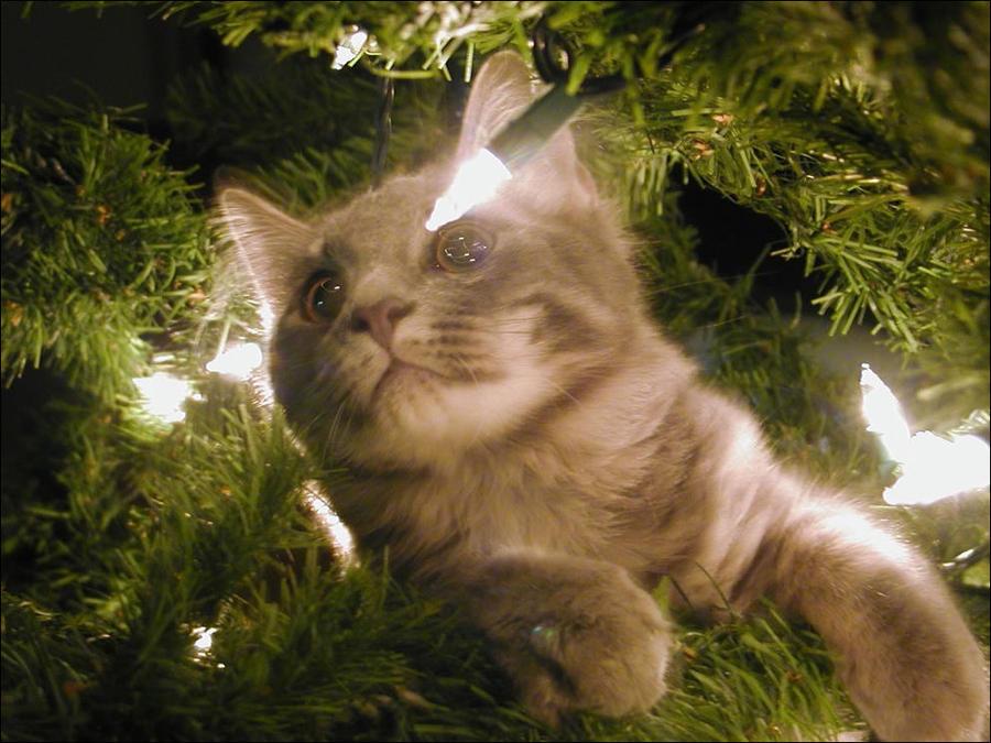 cat31 А вы поставили елку для кота?