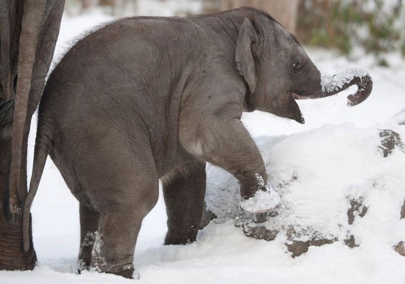 Берлинский слонёнок в восторге отснега