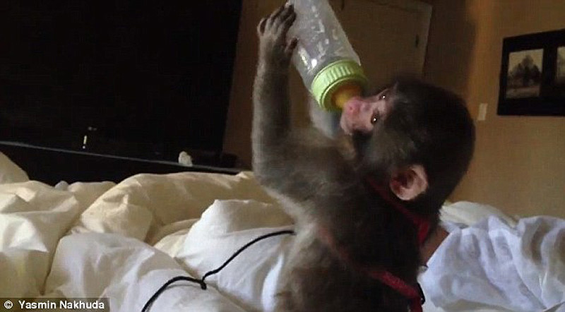obezyankadarvin 13 История обезьянки из IKEA
