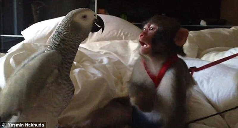 obezyankadarvin 14 История обезьянки из IKEA