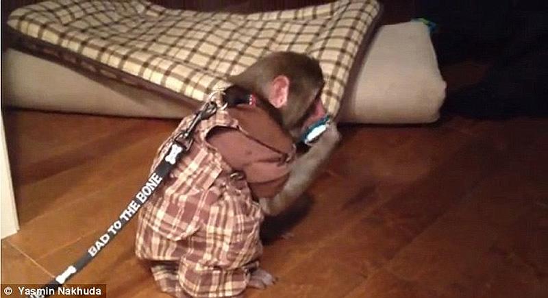 obezyankadarvin 6 История обезьянки из IKEA