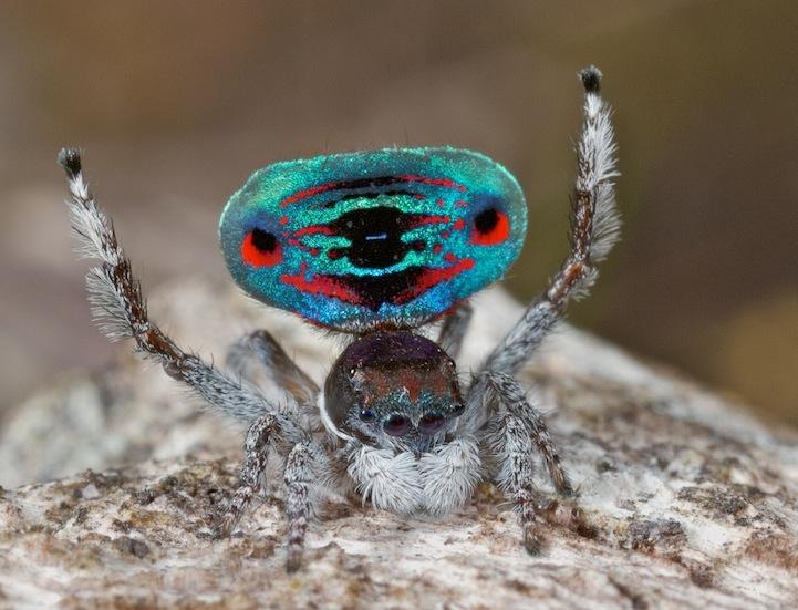 Экзотический павлиний паук