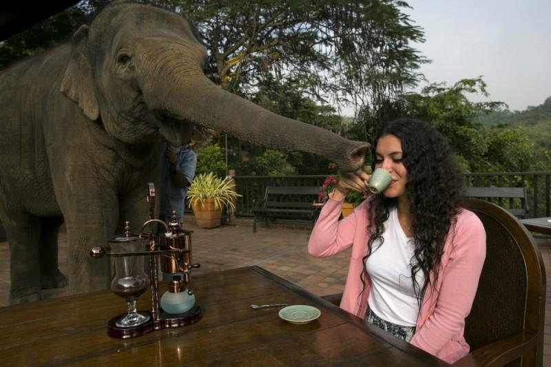 samidorogoykofe 22 800x533 Самый дорогой кофе в мире и его слоны производители