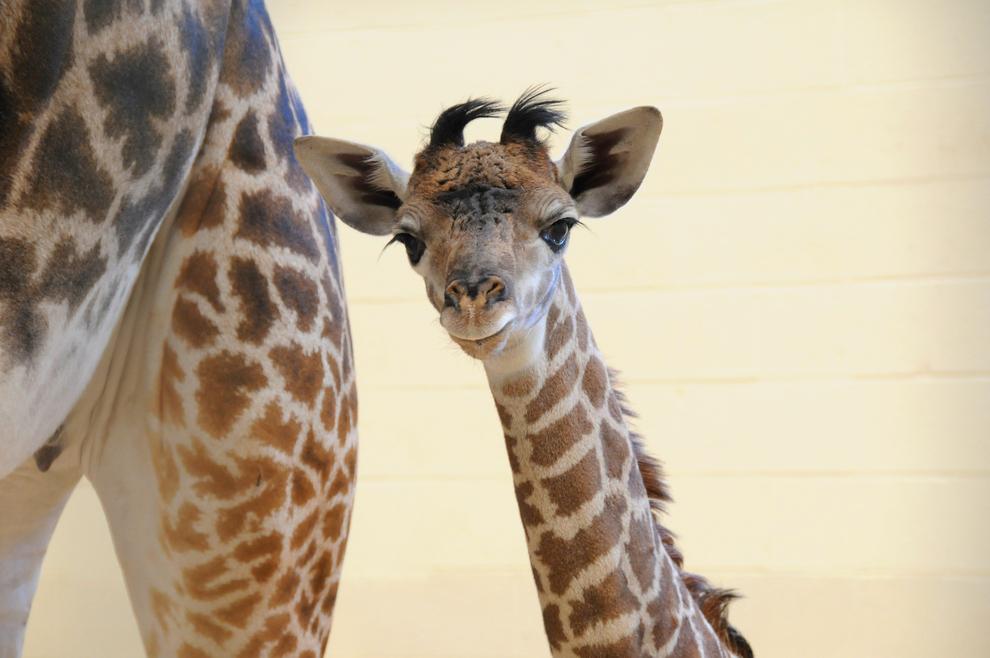 samiemiliedetyonishi 21 Самые милые детеныши животных за 2012 год