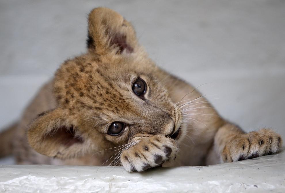 samiemiliedetyonishi 25 Самые милые детеныши животных за 2012 год