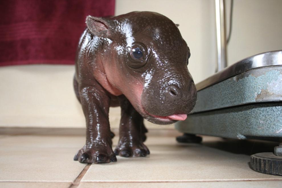 samiemiliedetyonishi 3 Самые милые детеныши животных за 2012 год