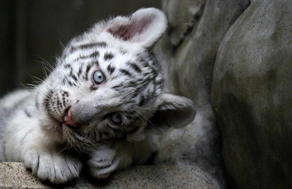 samiemiliedetyonishi 36 Самые милые детеныши животных за 2012 год