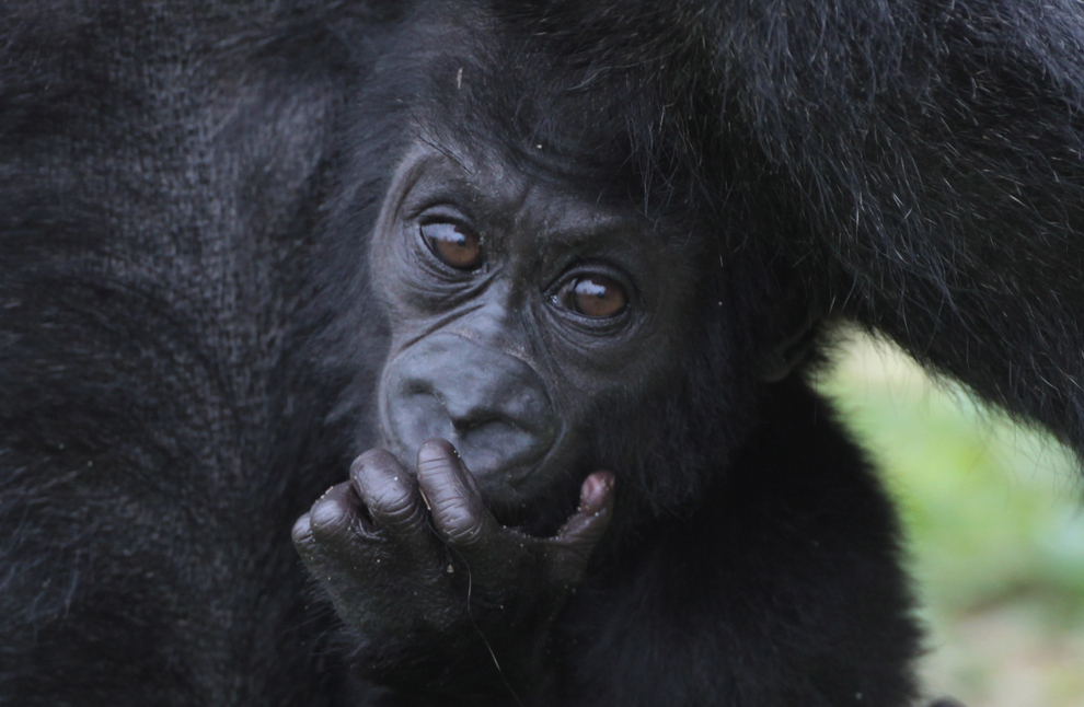 samiemiliedetyonishi 5 Самые милые детеныши животных за 2012 год