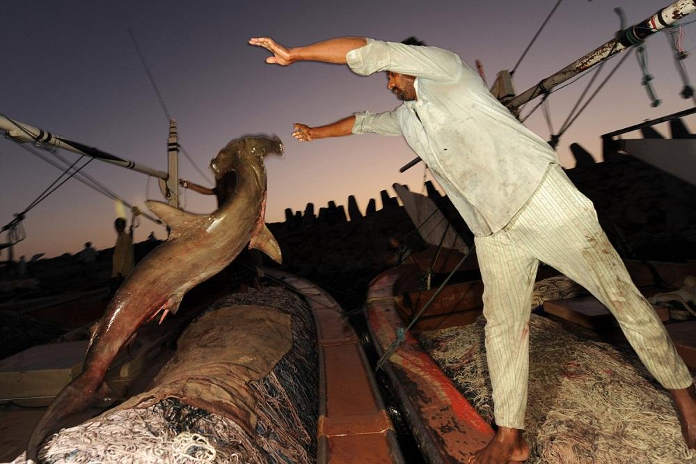 shark02 Акулий промысел в Аравийском море