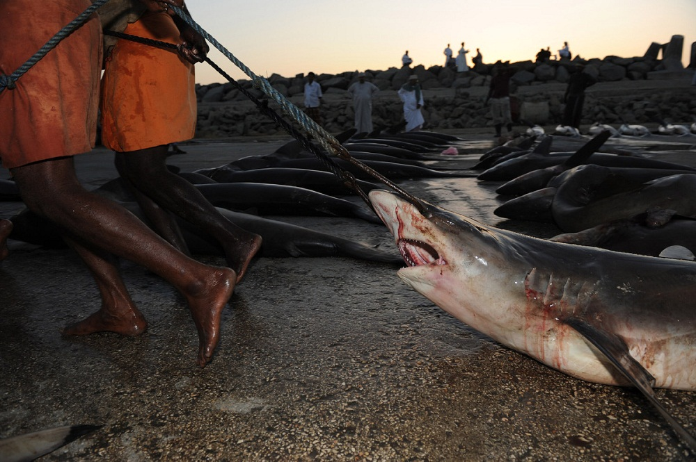 shark03 Акулий промысел в Аравийском море
