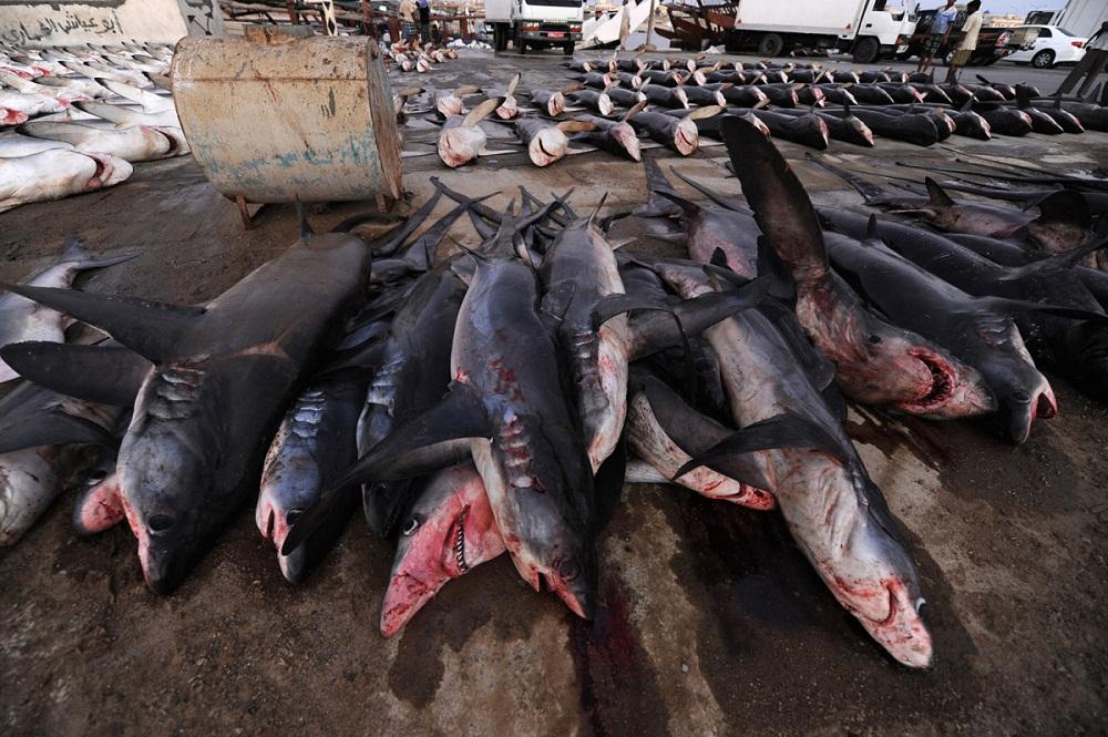 shark04 Акулий промысел в Аравийском море