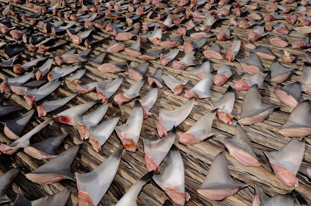 shark07 Акулий промысел в Аравийском море