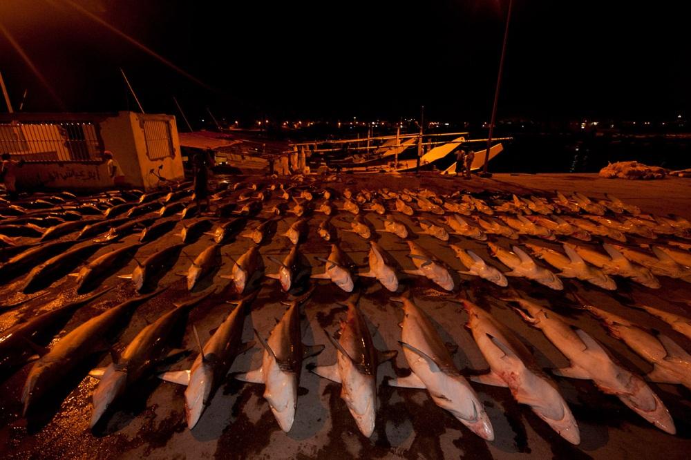 shark09 Акулий промысел в Аравийском море