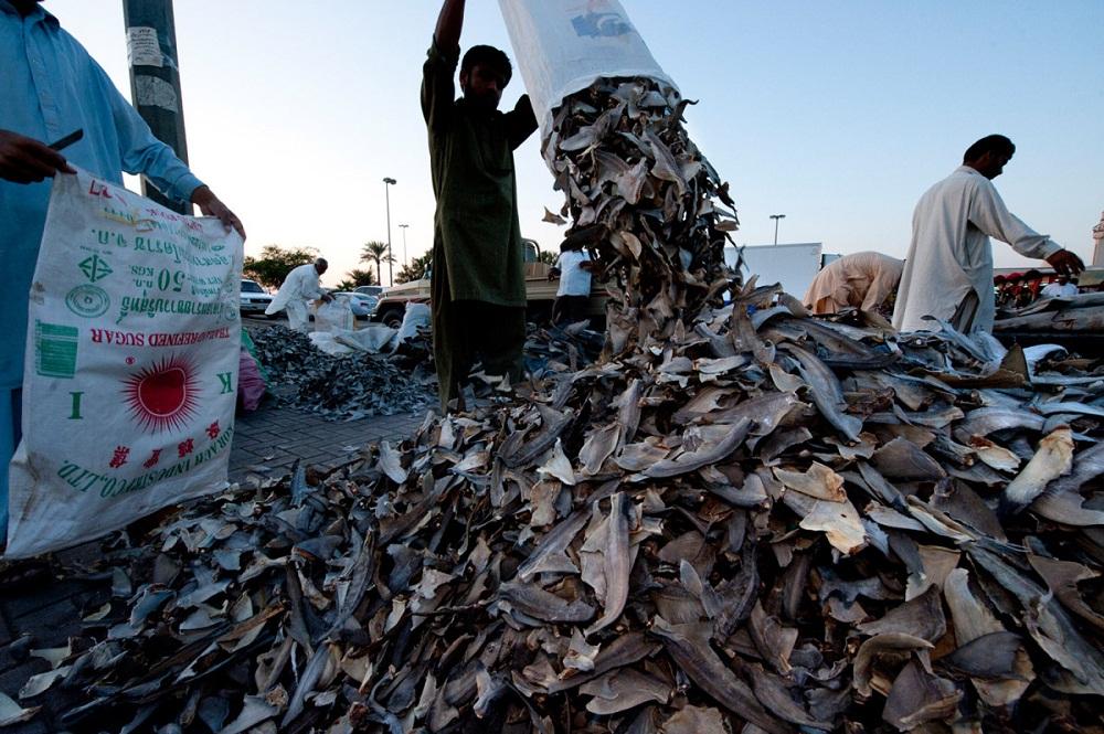 shark11 Акулий промысел в Аравийском море