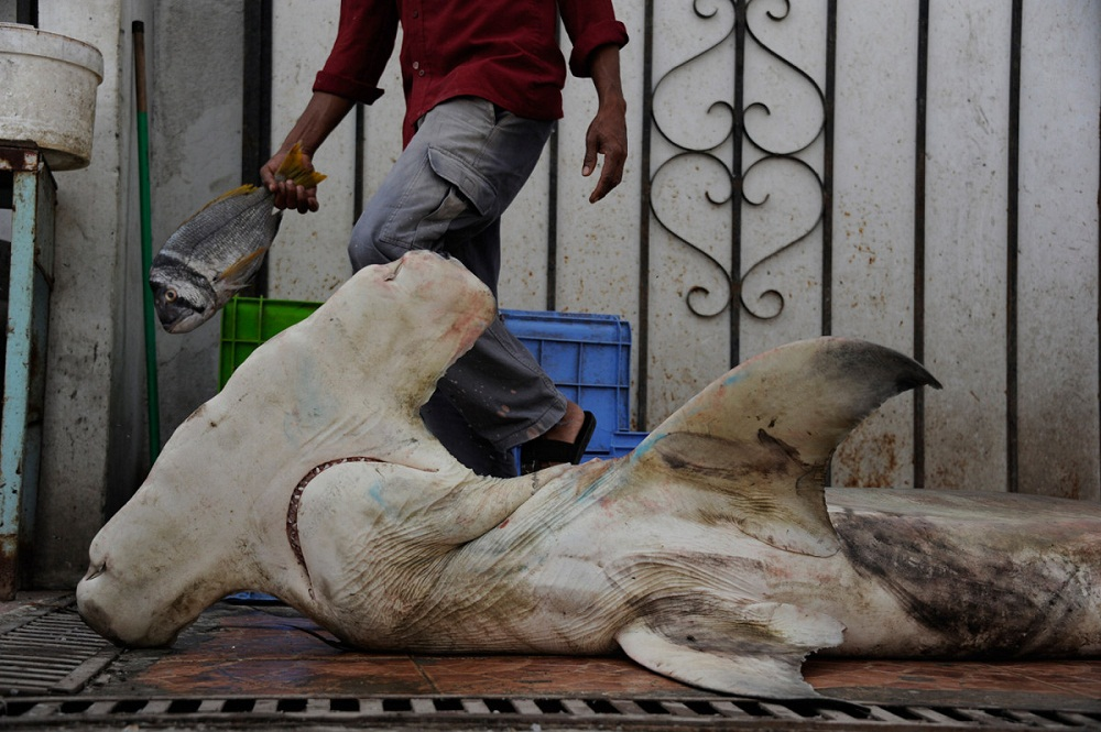 shark12 Акулий промысел в Аравийском море
