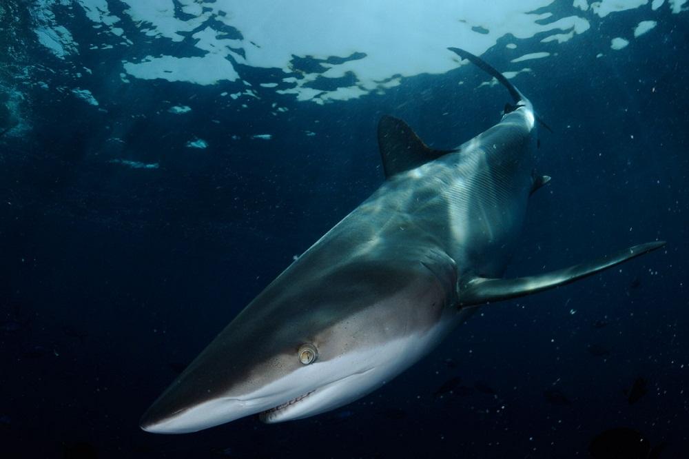shark17 Акулий промысел в Аравийском море