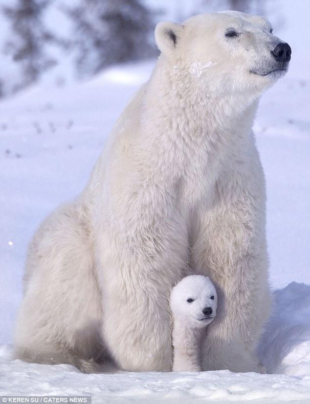 zabavniemedvejata 1 Зимние забавы белых медвежат и их мамы