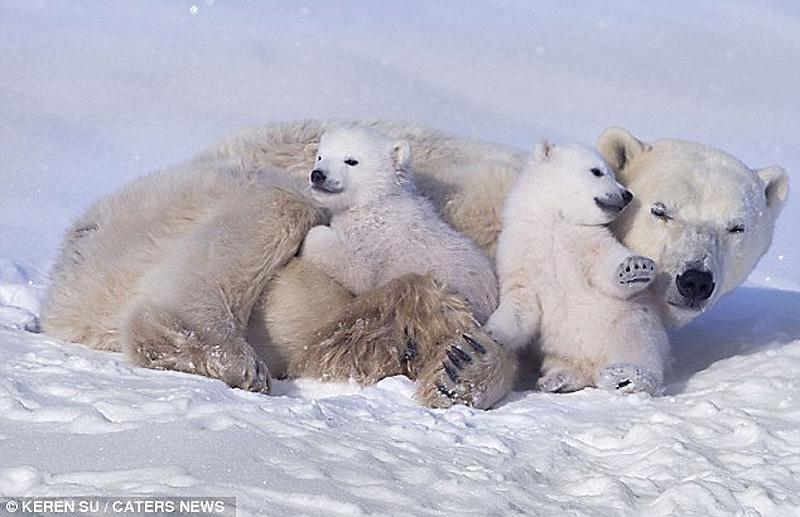 zabavniemedvejata 2 Зимние забавы белых медвежат и их мамы